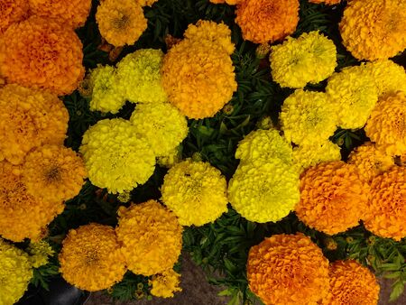 Tagetes erecta. Yellow and orange Mexican marigold flower bed, in top view.