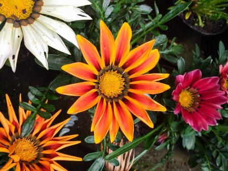 Gazania rigens, several orange flowers blooming in a garden bed, with other colors in the background.