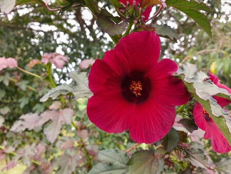 Closeup of magenta hibiscus flower with leaves in blurred background in sunny day.
