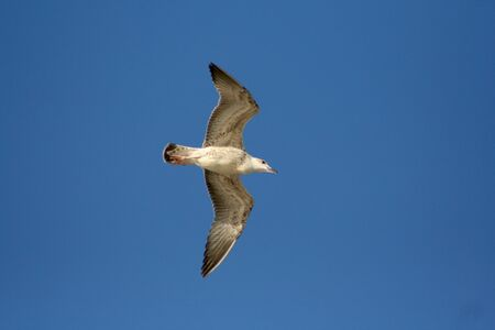 A seagull flying on blue sky