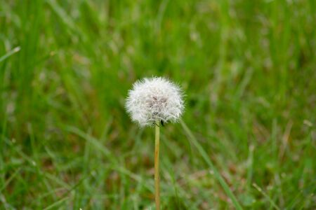Common dandelion seeds with green grass background