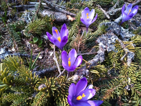 Purple Crocus in early spring Stock Photo