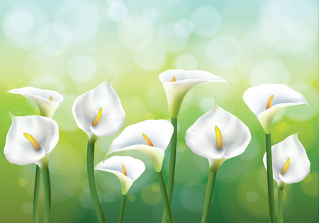 Vector illustration of spring background with flowers - callas lily. Callas on the green background.