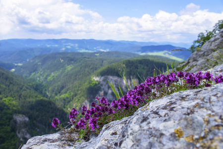 Pink flowers, herb thyme. Landscape mountain with hills with field of flavoring thyme. Фото со стока