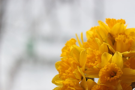 Spring flowers large cupped daffodil or narcissus stock photo spring flowers large cupped daffodil or narcissus stock photo 73518749 mightylinksfo