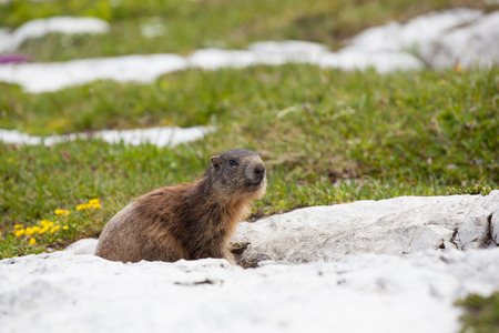 marmot mammal that lives in the high mountains photo