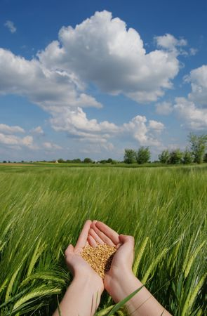 Hands with wheat over green field in spring