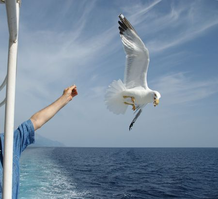 Flying seagull taking food from human hand