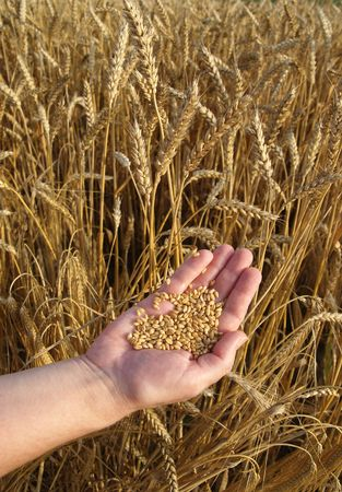 Human hand with hep of wheat in field