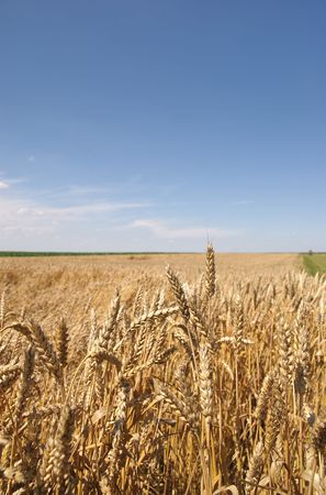 serbia landscape:  Wheat field ready for harvest in early summer