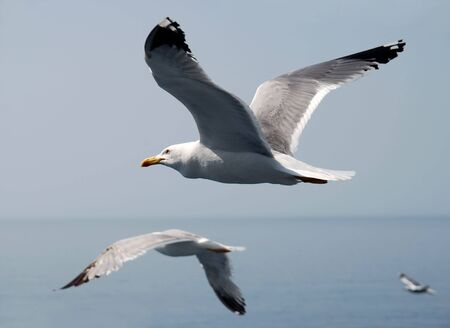 White and black seagulls flying over blue sea photo