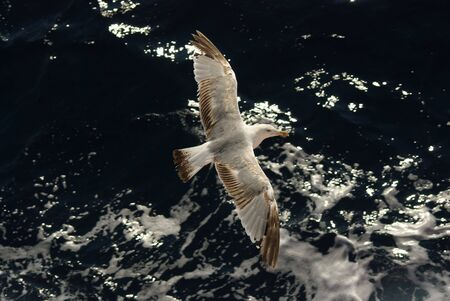 churning: White gray and brown seagull  over churning sea