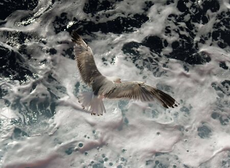 churning: White gray and brownk seagull  over churning sea