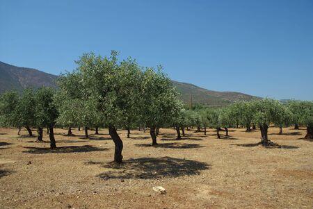 Olive tree planting on Thassos island Greece photo