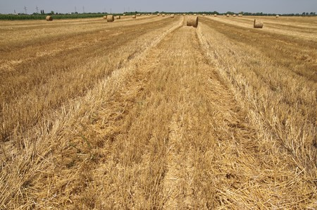 Wheat field after harvesting with rolled straw Stock Photo - 3960693