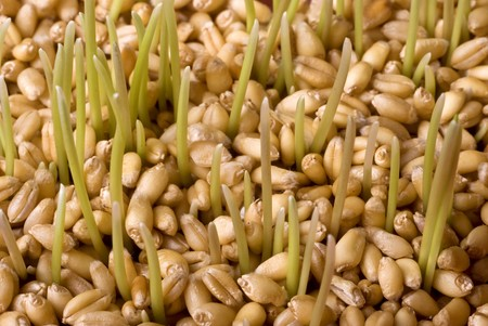 Close up of  green wheat germ Stock Photo - 4061401