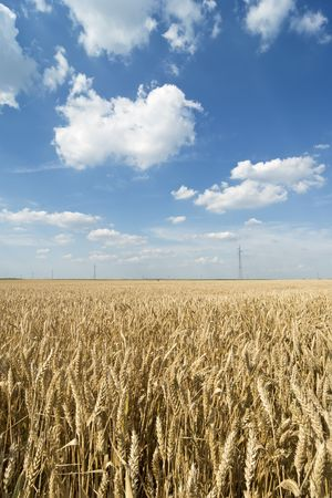 Wheat field in late spring or early summer with blue sky and clouds photo