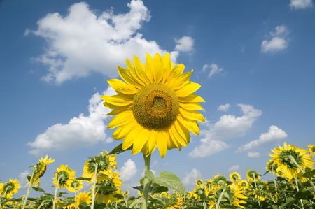 Sunflower in early summer with blue sky and clouds photo