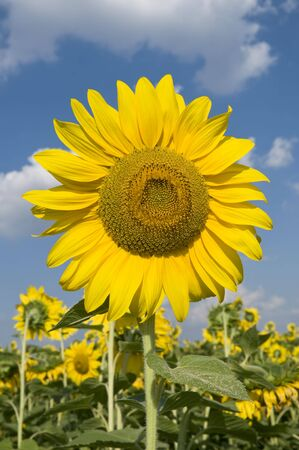 Sunflower in early summer with blue sky and clouds Stock Photo - 5244118