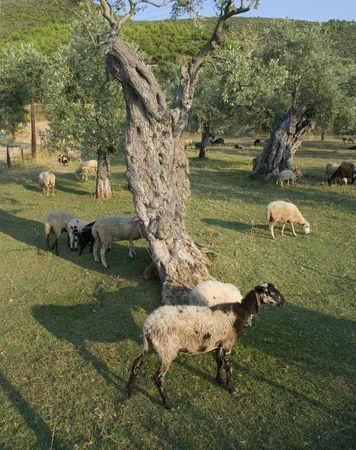 Olive tree planting and sheep at Thassos  Greece photo