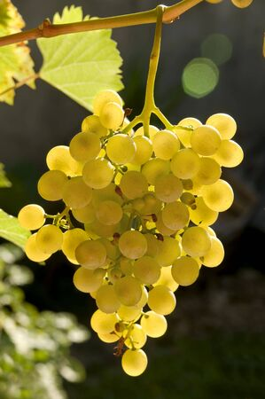 Close up photo of white grapes in the vineyard photo