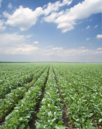 soja: Green campo de soja cultivadas a principios de verano