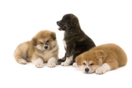 akita: Three  Akita Inu puppy dog on white background