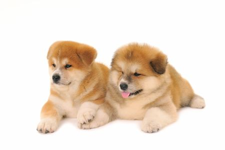 pet photography: Two  Akita Inu puppy dogs on white background