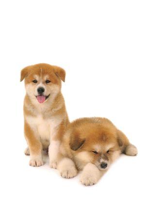 akita: Two  Akita Inu puppy dogs on white background
