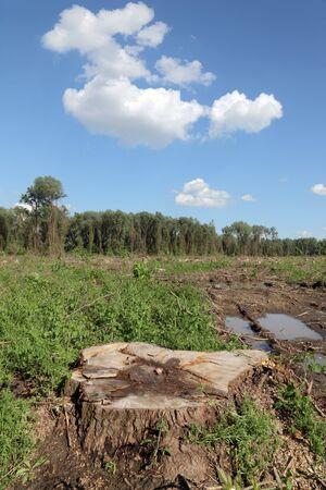 explocion: Recién aserraba árbol grande en el bosque de la primavera