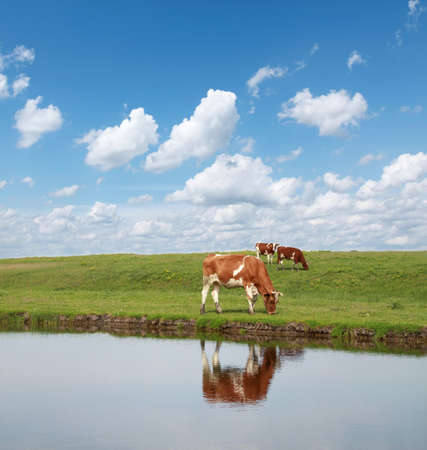 Cows in green field with blue sky and white clouds
