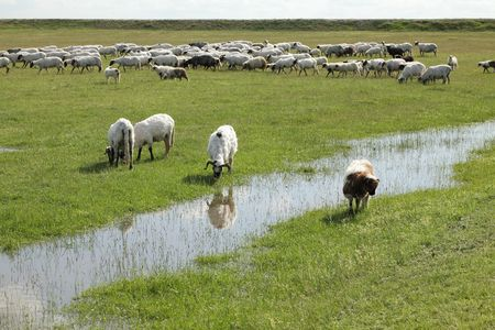Herd of sheep eating grass at meadow with creek Stock Photo