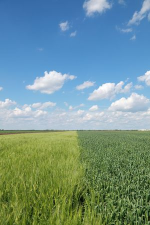 Wheat field in spring with beautiful sky and clouds Stock Photo - 7178941