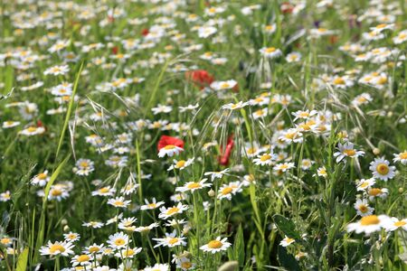 Meadow with  white flowers and green grass photo