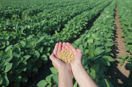 Human hand with soy seed and soy field