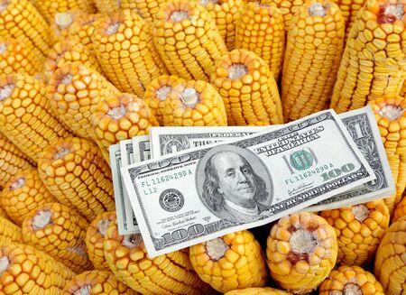 cash crop: Agricultural concept, closeup of dollar banknote at corn