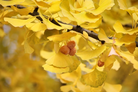 Leaves and fruit of the ginkgo tree in fall  photo