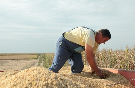 Farmer and soy beans after harvest at tractor trailer photo