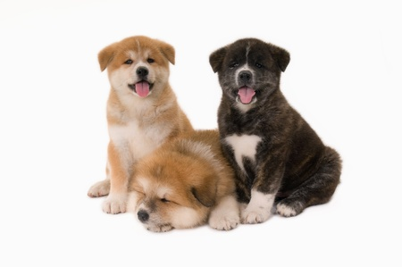 Three  Akita Inu puppies dogs on white background