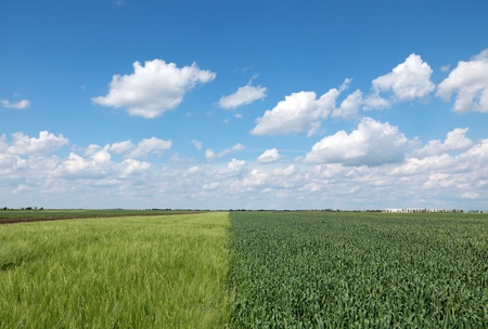 Wheat field in spring with beautiful sky and clouds, two types of wheat Stock Photo - 8808146