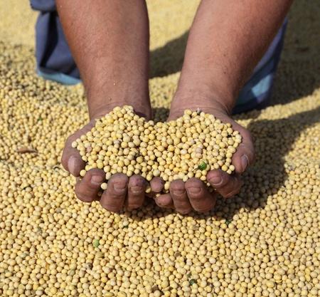 soja: Cosecha de soja, de manos de los agricultores y de soja
