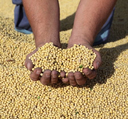 Harvest of soy, farmers hands and soybean