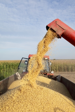 soya bean plant: Grain auger of combine pouring soy bean into tractor trailer