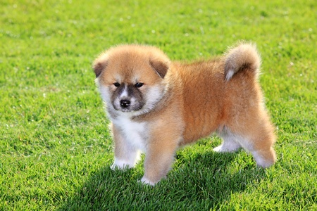 One  Akita Inu puppy dog on green grass photo