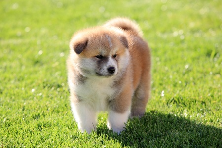 One  Akita Inu puppy dog on green grass selective focus photo