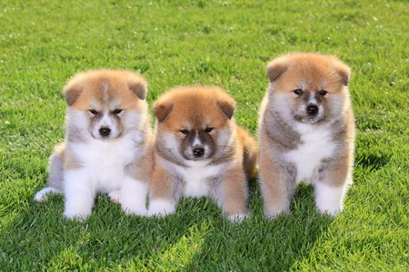 Three  Akita Inu puppy dogs on green grass