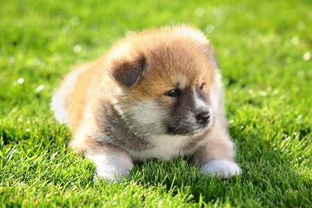 One  Akita Inu puppy dog on green grass selective focus Stock Photo - 9594399