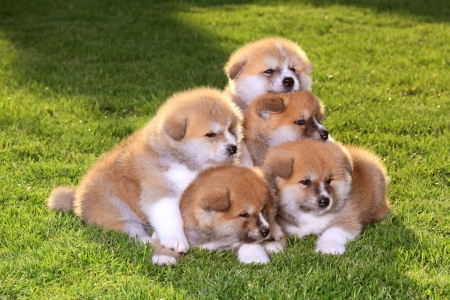 Five  Akita Inu puppy dog on green grass