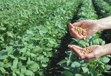 Homme mains verseur graine de soja et de champ de soja en arrière-plan Banque d'images - 10059931