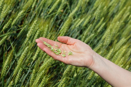 inspecting: Quality of wheat inspecting, hands with fresh grain Stock Photo